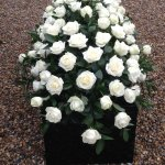 ####rose and ruscus casket spray 